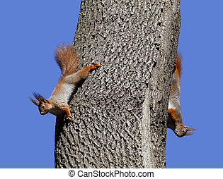 Two red squirrels play on tree