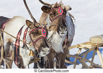 Two reindeer adorned with festive harness closeup