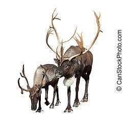 Two Reindeer (Rangifer tarandus). Isolated over white...