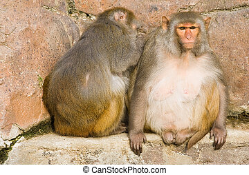 Two rhesus monkeys sitting in the sun and cleaning of fleas