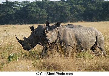 Two rhinoceros - Two rhinos in the early morning sun