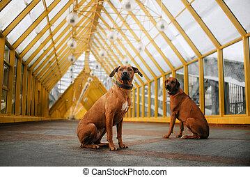 two rhodesian ridgeback dogs sitting together on a city bridge