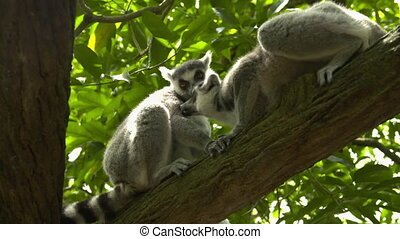 Two ring tailed lemurs grooming each other