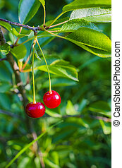 two ripe cherries on a branch