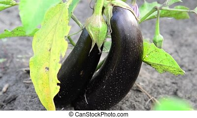 Two ripe eggplant on bed - Two ripe eggplant on a bed