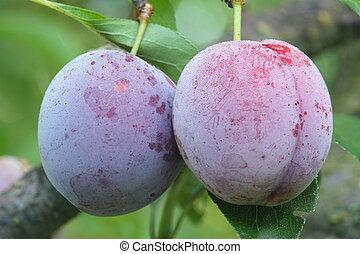 Two ripe fruits of a Japanese plum cultivar Santa Rosa ready...