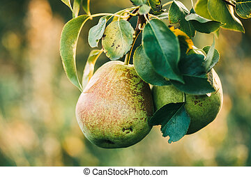 Two ripe pears on a branch in the garden