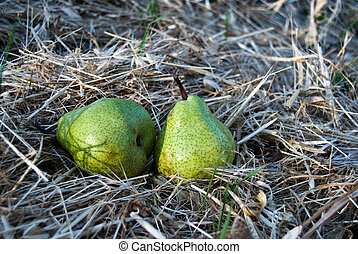 Two ripe pears on the dry grass