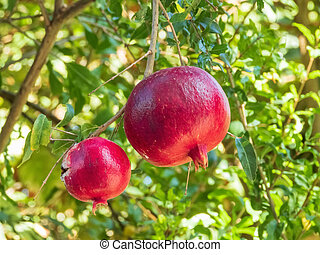 Two ripe pomegranate fruits hanging on a tree branch on sunny day