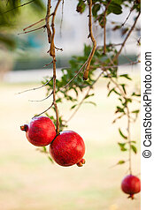 two ripe red pomegranates hang on a pomegranate tree branch in the garden