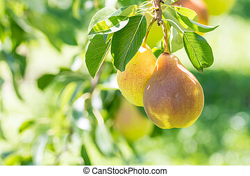 two ripe yellow pears hanging on a branch in natural light autumn harvest concept