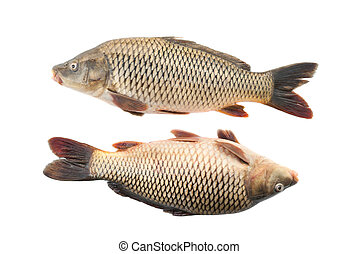 Two river carp on a white background.