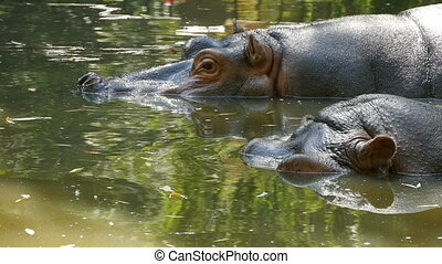 A closeup view of Two river-horses who swim in a zoo pond frolicking together in summer in slow motion. They look funny and hilarious