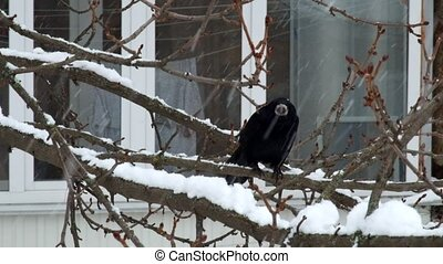 Two rooks sit on a tree branch during a snowfall and watch (Corvus frugilegus)