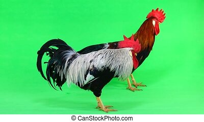 two rooster on green screen