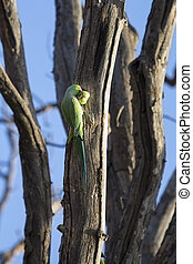 Two Rose-ringed parakeets at their nest in stump of a dead tree