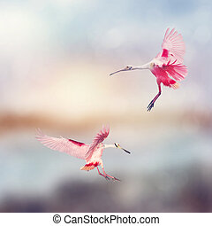 Roseate Spoonbills landing in Florida wetlands - Two Roseate...