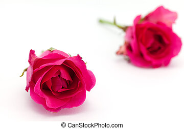 two roses isolated on white background depth of field