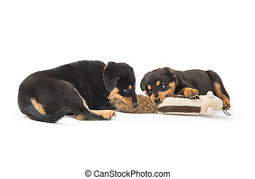 Two Rottweiler Puppies Playing With Toy