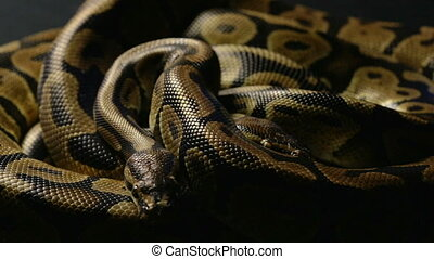 Two royal ball pythons in shadow - Footage of royal ball...