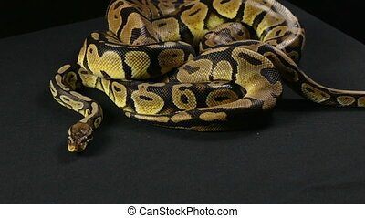 Two royal pythons in knot - Footage of royal ball python on...