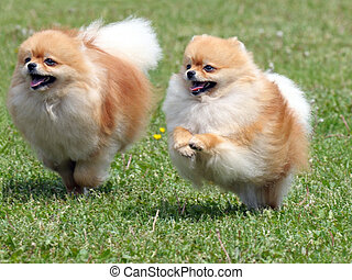 Two running dogs - Two dogs are running on the meadow grass