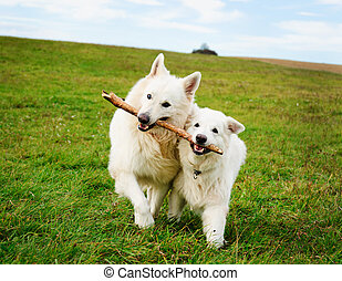 Two running dogs - Two white dogs running in the meadow