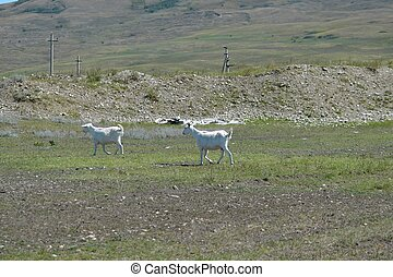 Two running white goats in the pasture. - Two white goats ...