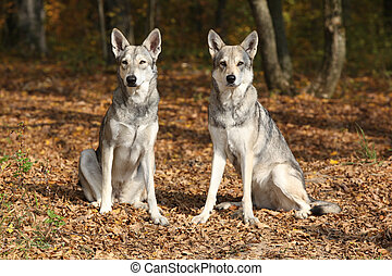 Saarloos Wolfhound - Two Saarloos Wolfhound bitches sitting...