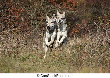Two Saarloos Wolfhounds running