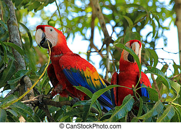 Scarlet Macaws - Two Scarlet Macaws (Ara Macao), Limonal,...