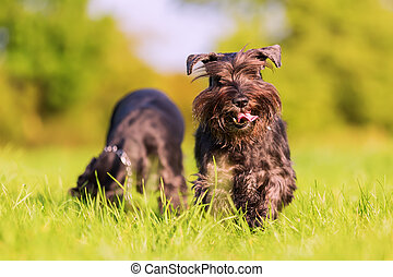 Two schnauzer dogs play on the meadow