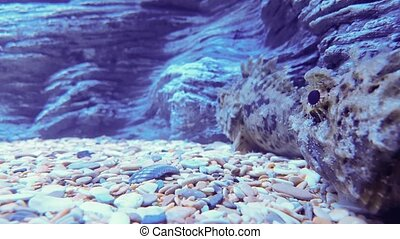 Two scorpion fish in sea aquarium - Two scorpion fish in a...