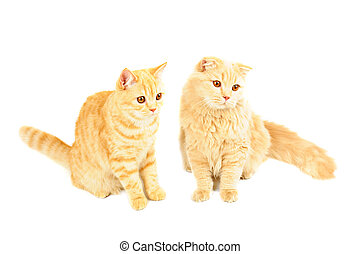 Two scottish cats