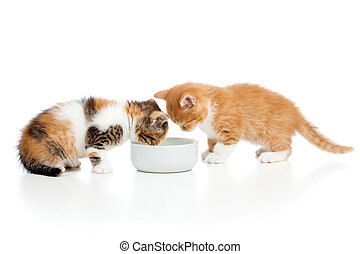 two Scottish kittens lap milk from bowl