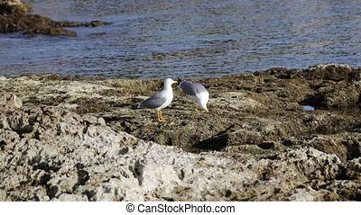 two seagull eating a crab on the rocks