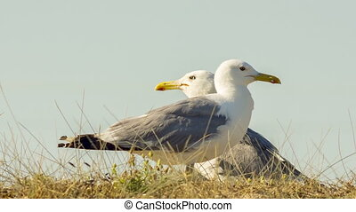 Two Seagulls In A Wild