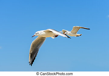 Two seagulls in fly