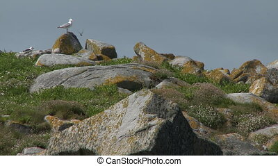 Steady, low angle, medium wide shot of two seagulls on rocks in a grassy hill.