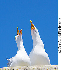 Two seagulls squawking loudly with big blue sky.