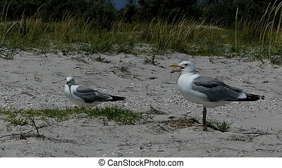 Two seagulls stand on a sandy coast of Dzharylhach island in...