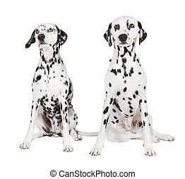 two seated dalmatian