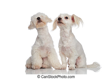 two seated white bichons looking up and to side