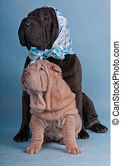 Two Shar-Pei - Shar-pei friends funny picture