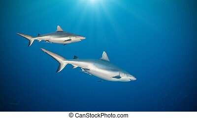 Two sharks floating in deep water