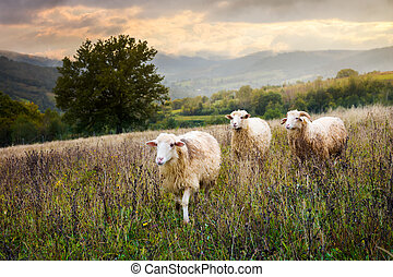 two sheep and ram walk through grassy meadow. mysterious...