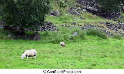 Two sheep graze on grass field near rocky mountain at rainy day
