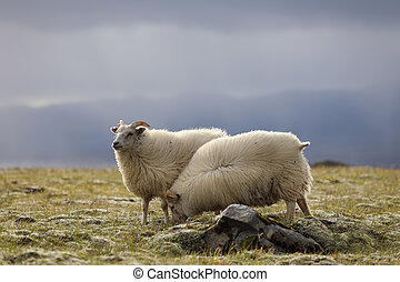 Two sheep grazing on high meadows