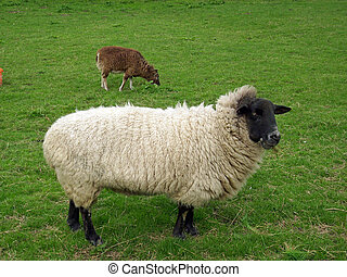 Two sheep in a field