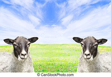 Two sheep in the meadow